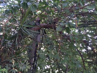 חוטי חשמל שזורים בענפים | צילום: ניר נאמן
