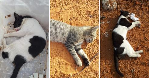 חתולים מורעלים | צילום: יונית גבע
