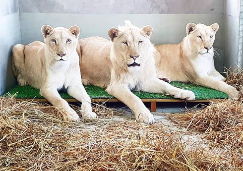 האריה ושתי הלביאות. צילום: נגב ZOO