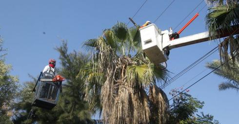 גיזום עצים ברעננה. צילום: יוסי וייס, חברת החשמל